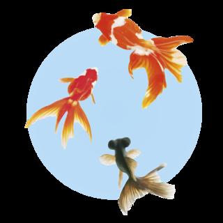 金魚.png